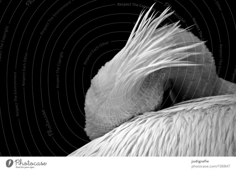 Pelikan Vogel Ruderfüßer Feder Schnabel ruhig schlafen weich Trauer schön gefangen Tier Zoo Schwarzweißfoto wasservogel Flügel Schatten Traurigkeit elegant