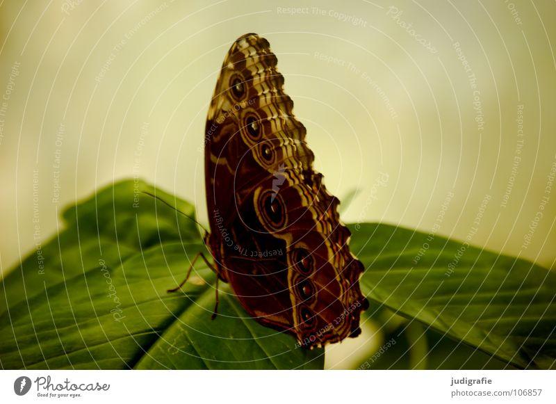 Falter Schmetterling grün Blatt Muster braun groß schön Insekt Fühler Farbe sitzen Natur Leben
