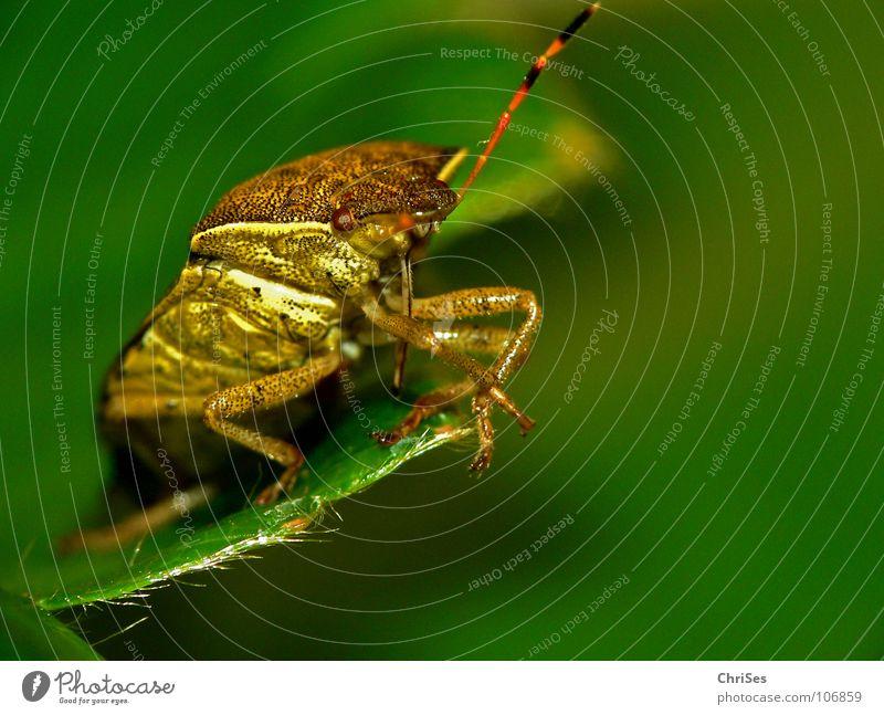 Beerenwanze (Dolycoris baccarum) 03 Wanze Insekt braun rot grün Tier Blatt Fühler Nordwalde Makroaufnahme Nahaufnahme Angst Panik Pflanzensaftsauger ChriSes