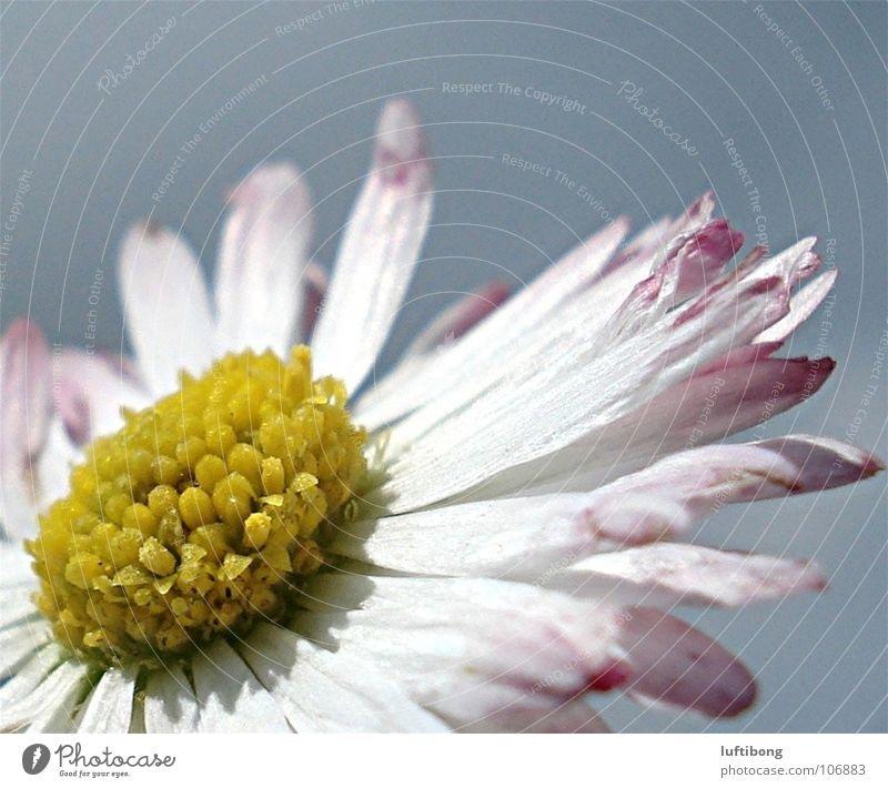 sonnenbad... Natur weiß schön Pflanze Blume gelb Blüte rosa Gänseblümchen Blütenblatt