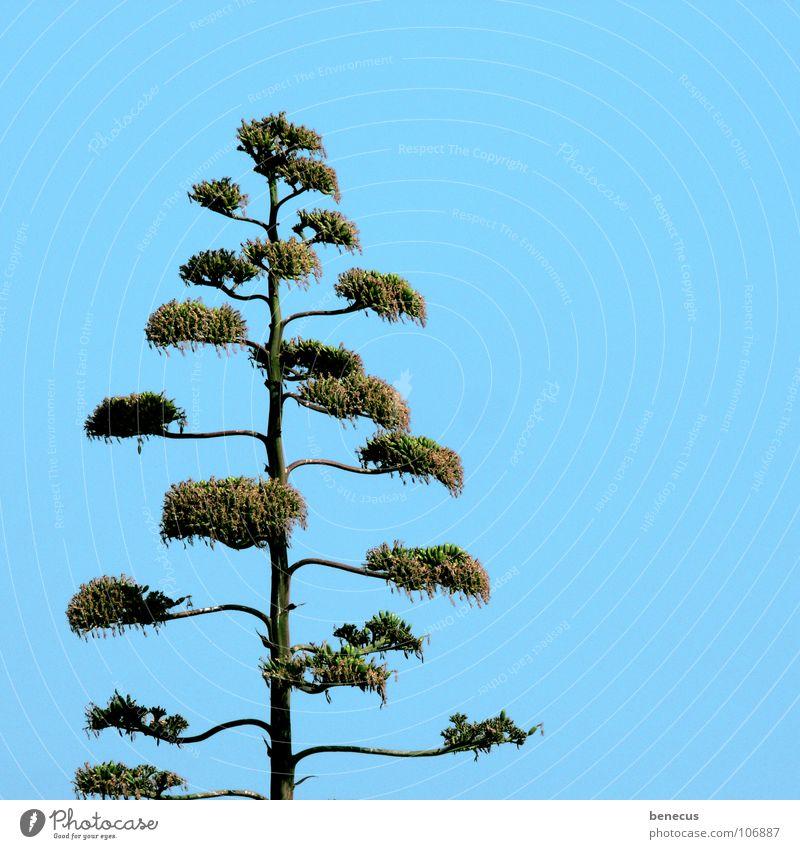 Agave Blüte Sukkulenten Pflanze grün türkis verzweigt gewachsen Wachstum Blühend Trockengebiet wüst trocken Dürre Einsamkeit vertikal Wüste Kraft Agavengewächs
