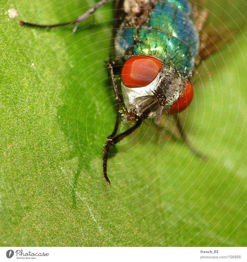 Makro-Fliege 2 Makroaufnahme Natur grün blau rot Pflanze Blatt Tier Beine Fliege sitzen bedrohlich Tiergesicht Flügel Sauberkeit