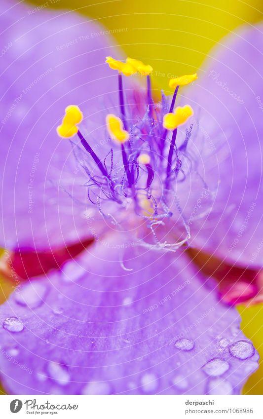 Haarig Natur Pflanze Wassertropfen Frühling Regen Blume schön nass gelb violett Blüte Farbfoto Außenaufnahme Makroaufnahme Menschenleer Tag Unschärfe