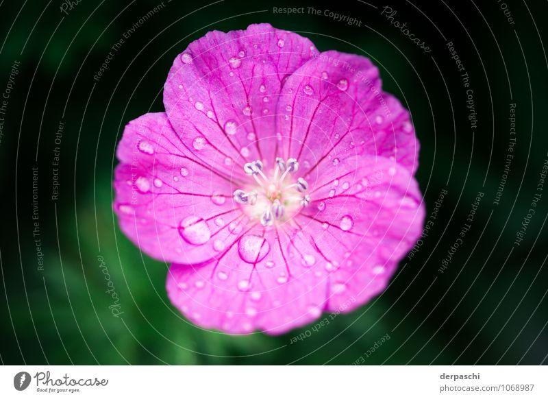 Pinke Tropfen Pflanze Wassertropfen Frühling Regen Blume Blüte nass rosa Farbfoto Außenaufnahme Makroaufnahme Menschenleer Unschärfe Schwache Tiefenschärfe