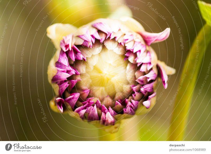 Grand Opening Natur Pflanze Frühling Schönes Wetter Blume grün violett Blütenknospen geschlossen Blühend Farbfoto Außenaufnahme Nahaufnahme Detailaufnahme