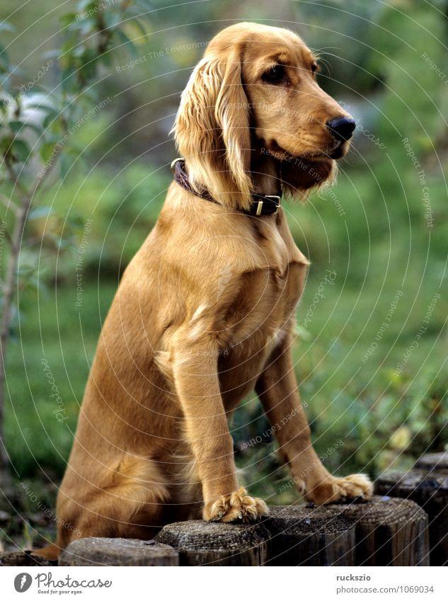 Cocker, Spaniel, Roter, Tier Haustier Hund rot Jagdhund Apportierhund Stoeberhund Wasserhund Hunderasse Junger Familienhund Rassehund Kopf Portrait Haushund