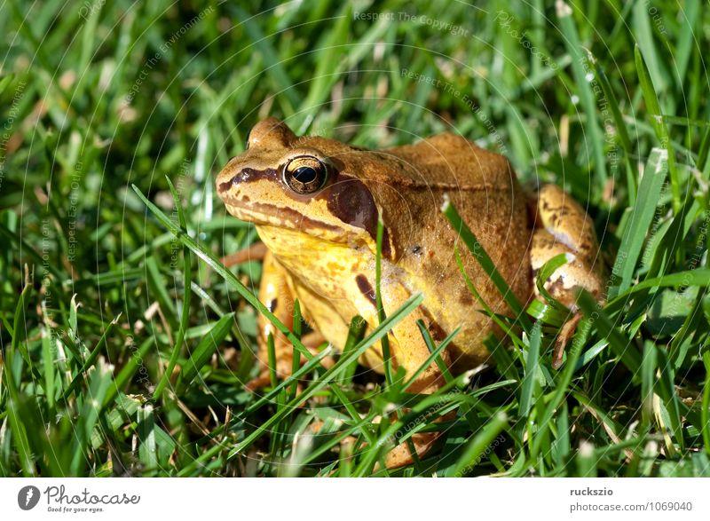 Grasfrosch, Rana temporaria, Natur Tier Wildtier Frosch authentisch braun grün Amphibie Froschlurche Springfrosch Taufrosch Maerzfrosch Laich Amphibien Lurch