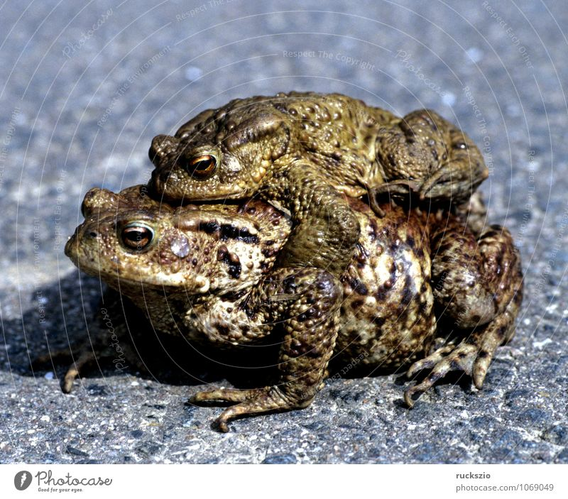 Kroete, Bufo bufo, Erdkroete, Paarung Natur Tier Wildtier Frosch frei schwarz weiß Kröte Erdkröte Amphibie Lurch amphibians frogs Froschlurche