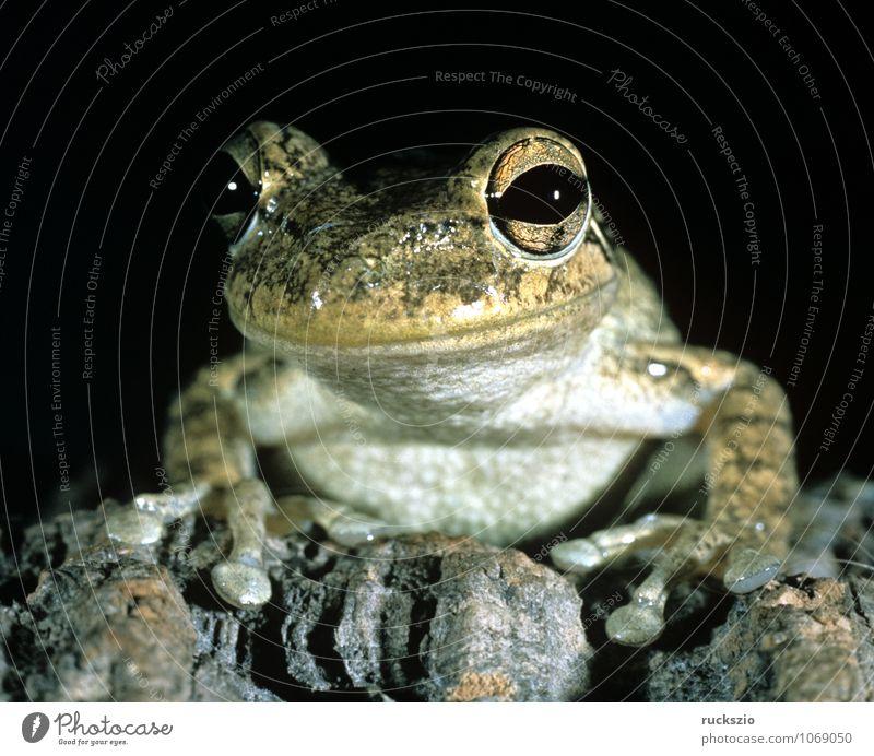 Kubalaubfrosch, Osteopilus, septentrionalis, Tier Frosch beobachten Amphibie Froschlurche Wirbeltier Laubfrosch Lurch Froschart Cuba frog amphibian amphibians