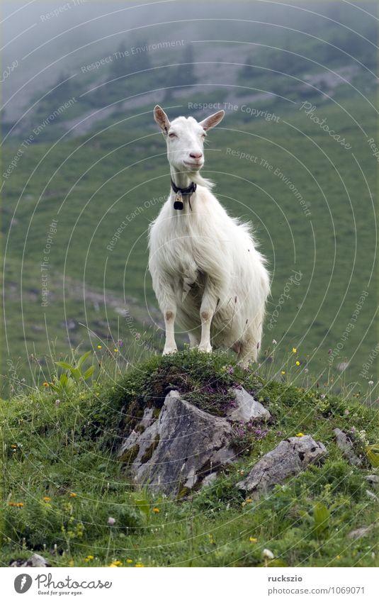 Ziegen auf Weide Milch Berge u. Gebirge Landwirtschaft Forstwirtschaft Landschaft Tier Herde frei weiß Appenzellerland Schweiz ländlich Alm Hochgebirge Goats