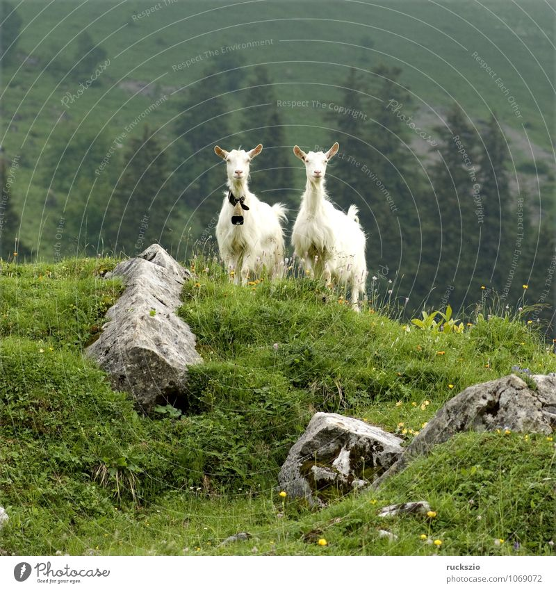 Ziegen auf Weide Milch Berge u. Gebirge Landwirtschaft Forstwirtschaft Landschaft Tier Herde frei Zusammensein weiß Appenzellerland Beieinander ländlich Alm