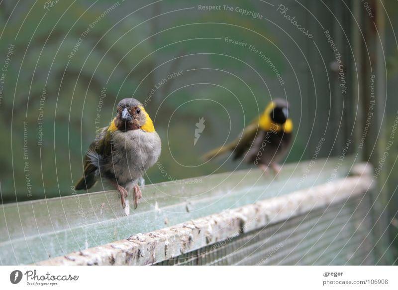 Vögeln schwarz gelb grau braun Vogel dreckig sitzen Feder Zoo Kot Schnabel Stab hocken Käfig Tiergarten