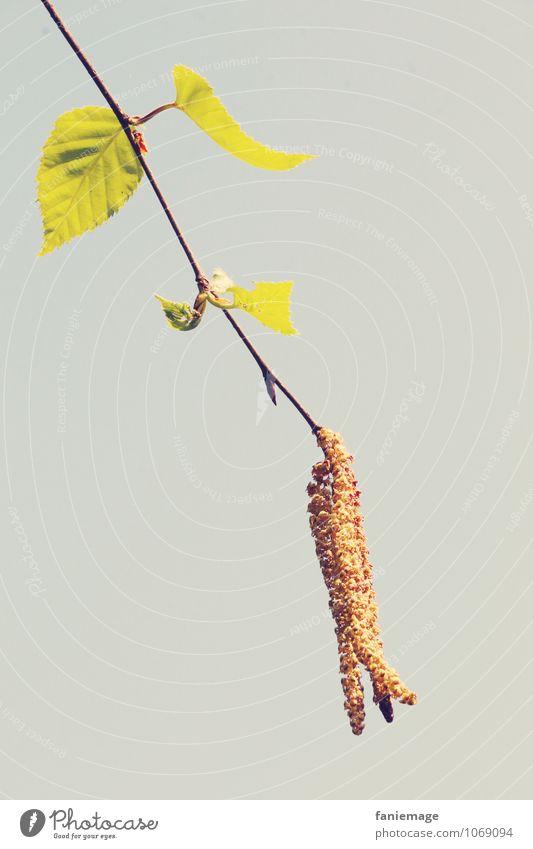 Zweig Umwelt Natur Himmel Frühling ästhetisch einfach frisch schön Detailaufnahme Ast grün braun grau Zweige u. Äste Frühlingsgefühle hängend einzeln