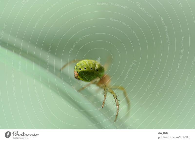 spider grün Tier Fuß Angst klein Glas Umwelt Geschwindigkeit gefährlich bedrohlich Insekt Spitze durchsichtig Ekel Flucht