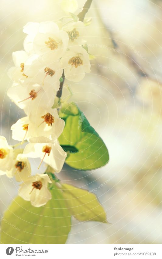 Blütenzweig Natur schön grün weiß Sommer Sonne Baum Umwelt Frühling hell frisch ästhetisch Ast weich Schönes Wetter