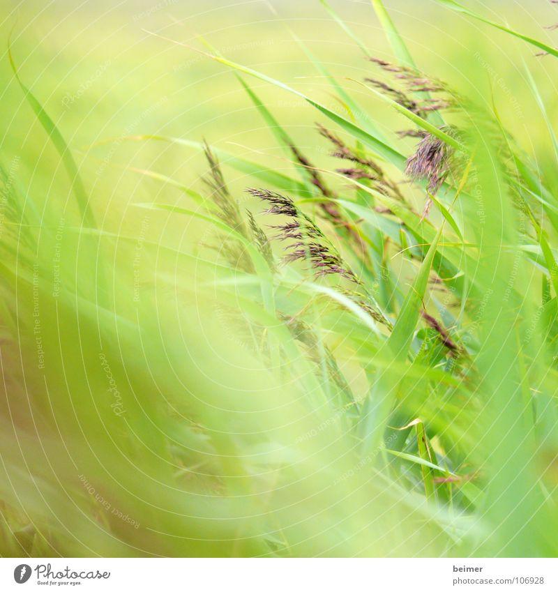 Grünzeug Gras grün Halm Unschärfe Wiese Sommer weich Wind Stranddüne Natur