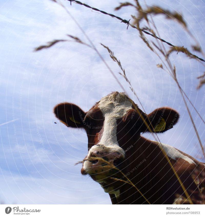 ... beim Picknick belauscht! Kuh Gras Fleckvieh Vieh Tier muhen braun Stacheldraht Säugetier scheckig Nutztier Himmel Maul Blick Blick in die Kamera Tiergesicht