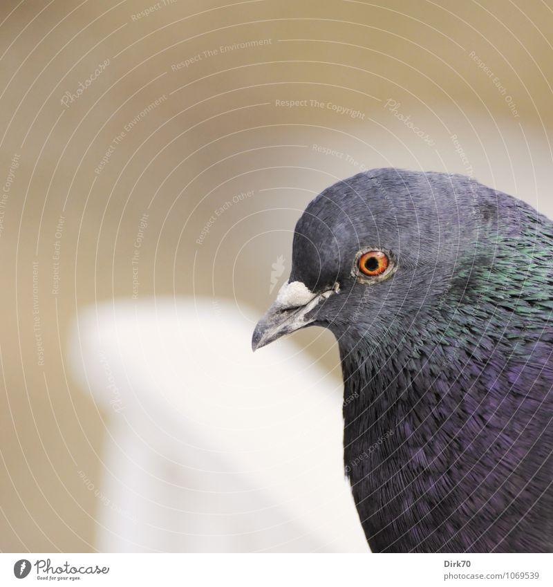 Haustauben-Porträt schön weiß Tier Frühling Wege & Pfade grau Holz braun Sand Vogel Park Kopf orange nachdenklich Wildtier sitzen