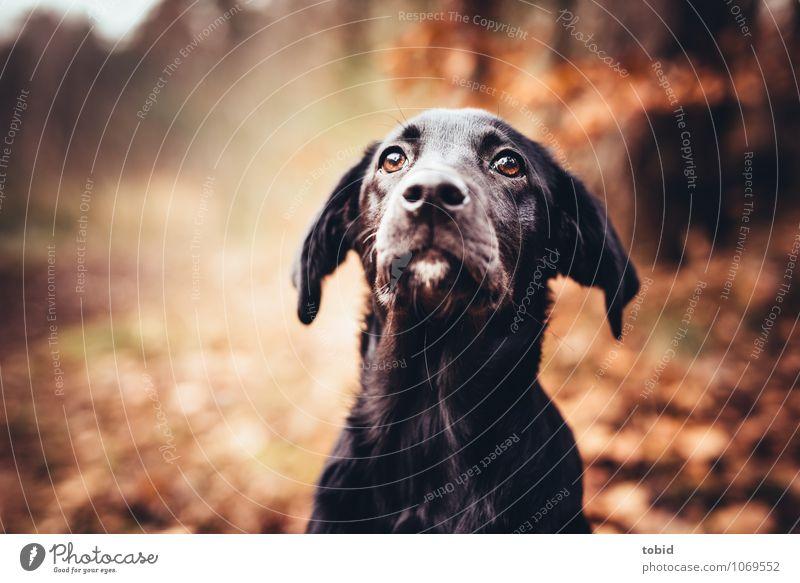 Amy Natur Schönes Wetter Baum Wald Haustier Hund Tiergesicht Fell Labrador Ohr Schnauze Schnurrhaar Auge Hundeblick beobachten glänzend sitzen schwarz loyal
