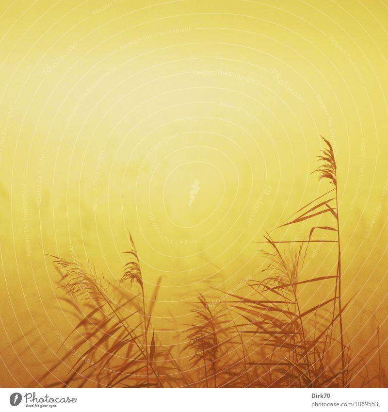 Schilf im Morgenlicht Natur Pflanze Sonne Blatt Landschaft ruhig Winter Ferne Umwelt gelb Wärme Wiese Gras Küste braun orange