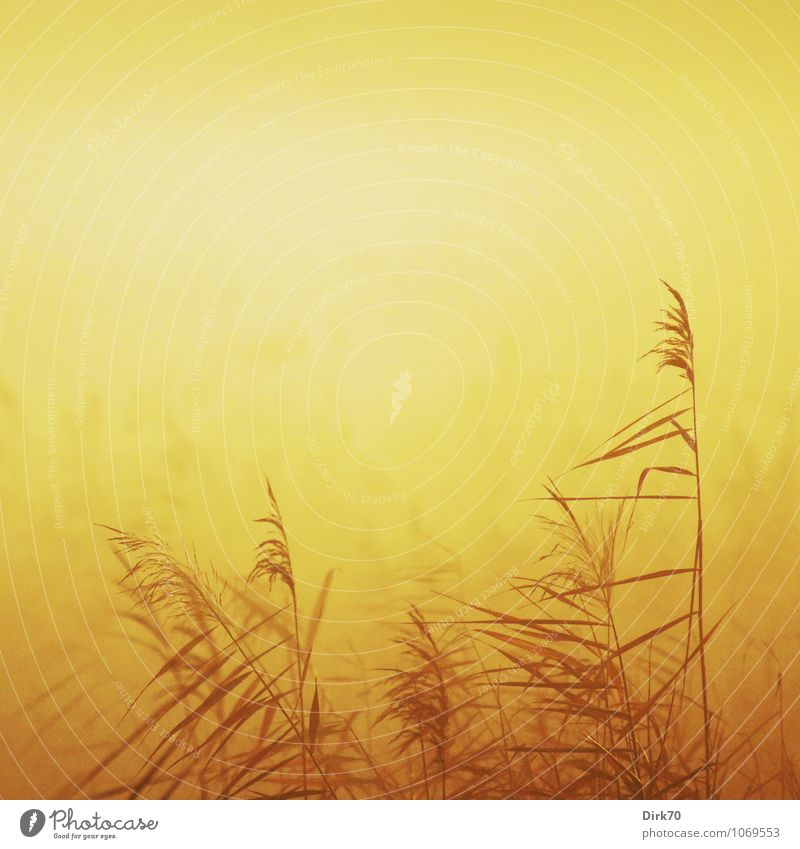 Schilf im Morgenlicht Umwelt Natur Landschaft Pflanze Sonne Sonnenaufgang Sonnenuntergang Sonnenlicht Winter Klima Schönes Wetter Nebel Gras Blatt Schilfrohr