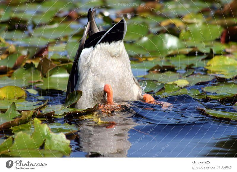 ... schwänzchen in die höh' Tier Vogel Schwanz kopflos Feder tauchen Trauer Verzweiflung Ente Wasser Angst Traurigkeit Im Wasser treiben Schwimmen & Baden