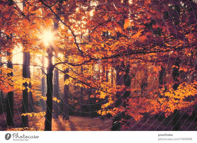 Wald Herbst Natur Pflanze Horizont Sonne Sonnenaufgang Sonnenuntergang Sonnenlicht Wetter Schönes Wetter Baum Park Erholung leuchten glänzend natürlich Wärme