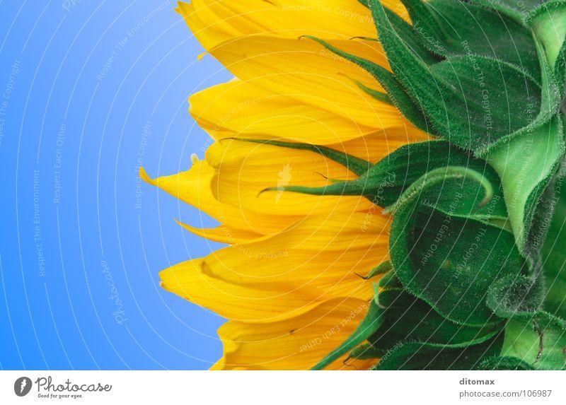 3 colors sunflower Himmel gelb Makroaufnahme Sonnenblume Blume Blüte Pflanze grün himmelblau Abstufung Teilung dreifarbig Farbenspiel Blütenblatt Textfreiraum