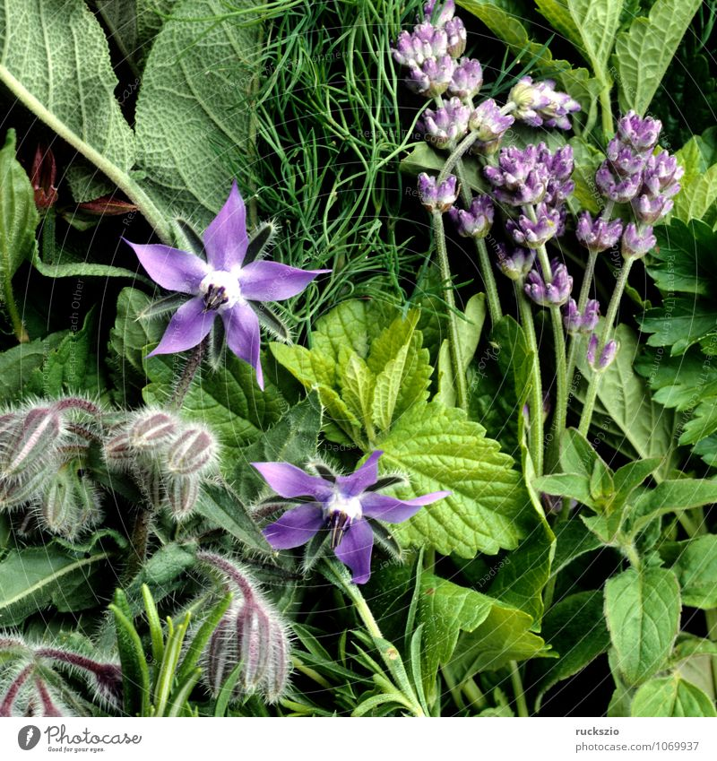 Kuechenkraeuter Natur blau Pflanze grün Gesundheit Gesundheitswesen Kräuter & Gewürze Balkon Duft Medikament Terrasse Alternativmedizin Lavendel Heilpflanzen