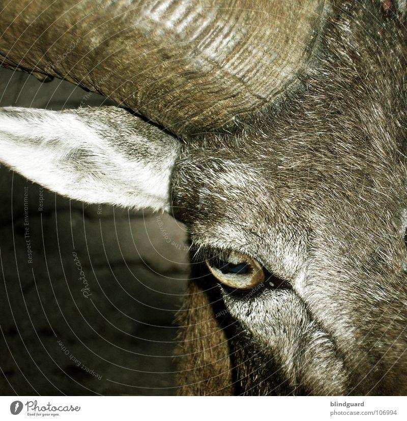 Am I Evil Ziegen Fell böse Teufel braun grau Nutztier Volksglaube Landwirtschaft Tier ökologisch verwandeln Bock Blick Makroaufnahme Nahaufnahme Säugetier Ohr