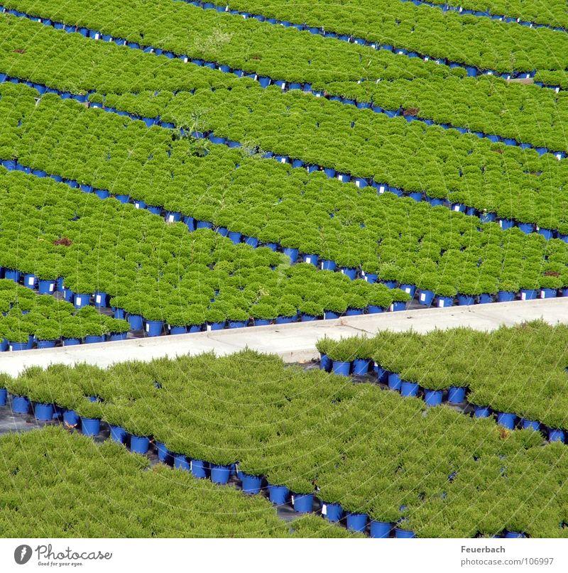 Kappeshamm 2 Blume grün blau Pflanze Farbe Herbst Garten Wege & Pfade Linie Feld Ordnung Wachstum Landwirtschaft Ackerbau Glätte Forstwirtschaft