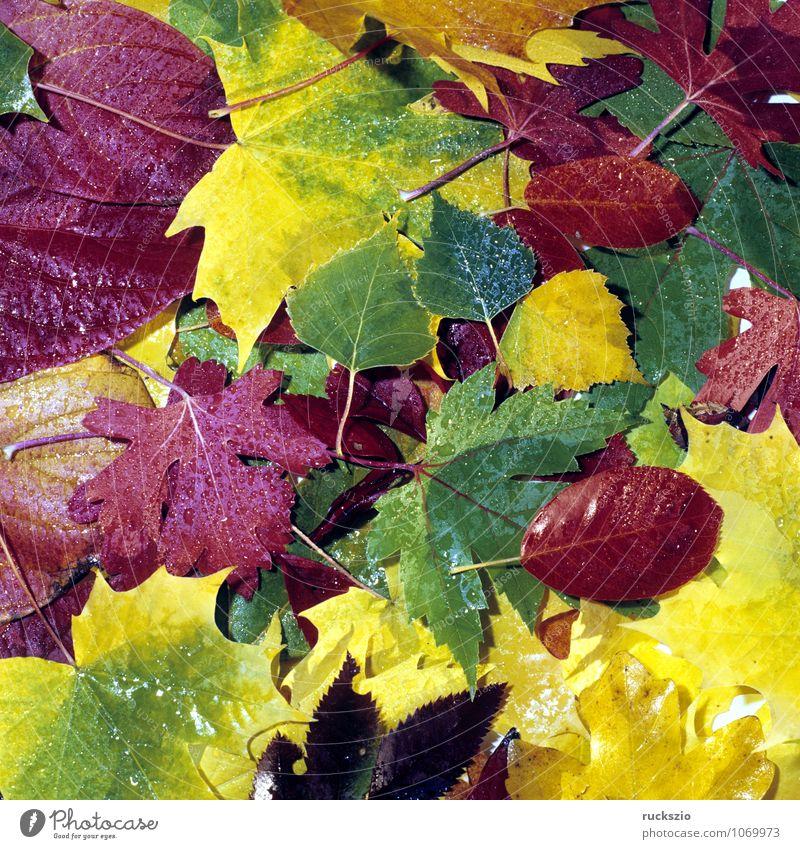 Bunte Herbstblaetter, Natur Pflanze Blatt leuchten wild mehrfarbig gelb rot Herbstlaub Herbstimpression Herbstfärbung Färbung Ahornblatt Perueckenstrauch Wein