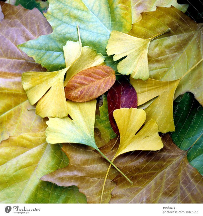 Bunte Herbstblaetter, Natur Pflanze Blatt leuchten wild mehrfarbig gelb rot Herbstlaub Herbstimpression Herbstfärbung Ahornblatt Ginkgo Perueckenstrauch Wein