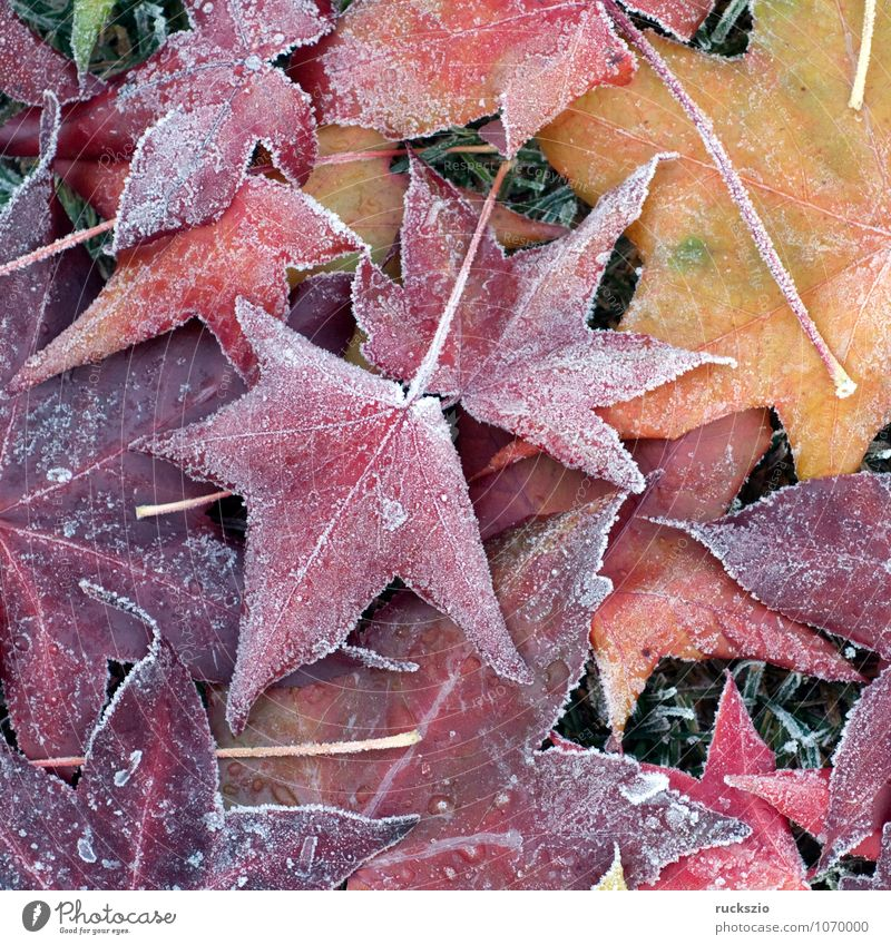 Ambeerbaumblaetter, Raureif, Winter Pflanze Herbst Nebel Baum Blatt kalt gelb rot schwarz weiß Stimmung Ambeerbaumblatt Dunst bereift Eindruck Eis Liquidambar