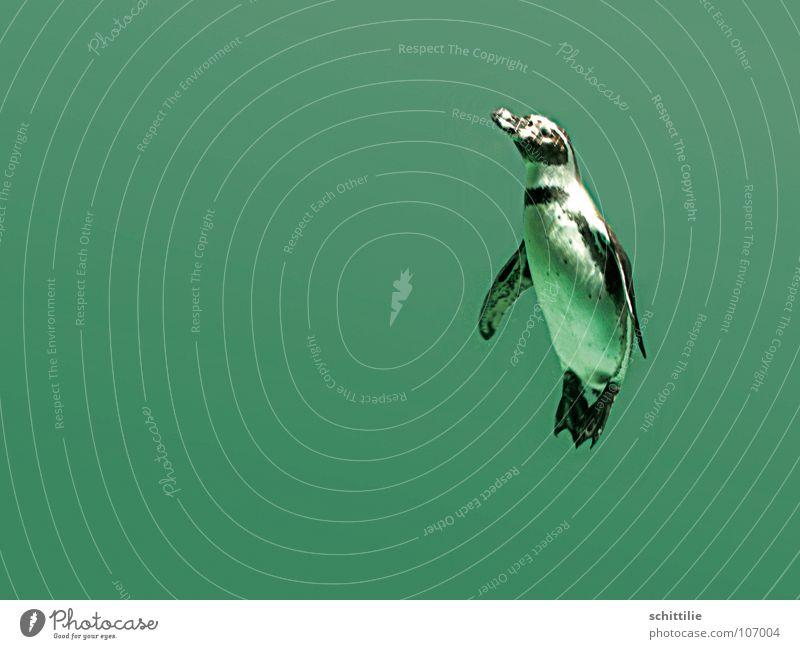 PinguIN Wasser Meer grün Freude Tier oben Vogel nass tauchen feucht aufwärts Pinguin