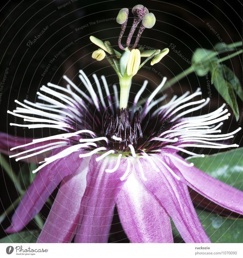 Passiflora caerulea-racemosa Pflanze Sommer Blume rosa Passionsblume Passiflora x caerulea-racemosa Maracuja Marakuja Kletterpflanzen Fassadenbegrünung