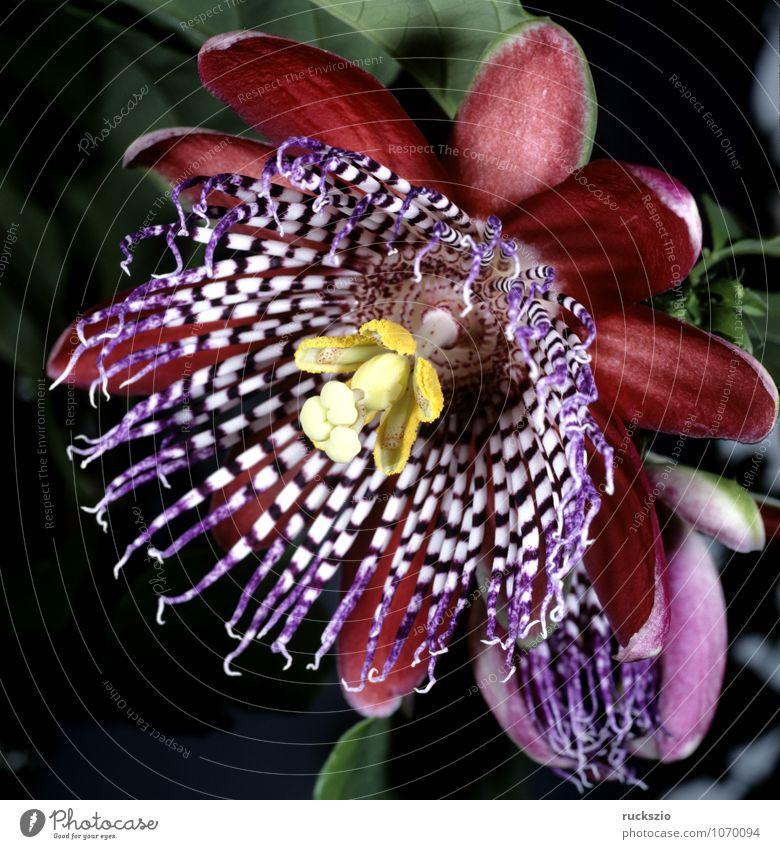 Koenigs-Grenadille; Passionsblume; Passiflora Medikament Natur Pflanze Blume Topfpflanze mehrfarbig rosa Passiflora quadrangularis Kletterpflanzen