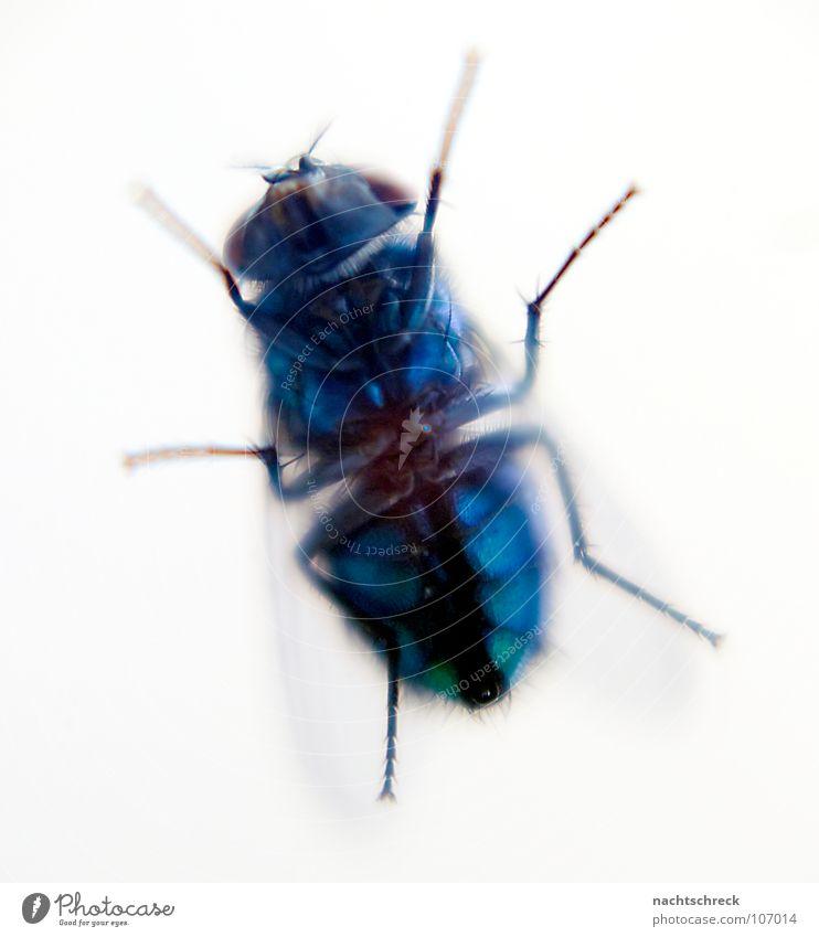 Fliege am Küchenfenster Insekt wild Tier Hautflügler Flügel Bauch blau Makroaufnahme Haare & Frisuren Beine Biene Detailaufnahme