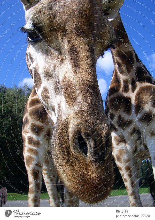 Melman 2 Wimpern braun beige Serengeti Afrika Wolken weiß Gras grün Sträucher Neugier ruhig Säugetier Giraffe Fleck Ohr Beine Hals Himmel blau schön Nase Auge