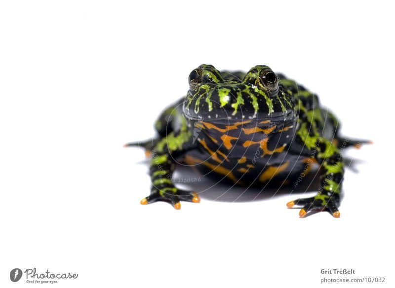 Rotbauchunke weiß grün rot schwarz süß Bauch Frosch Lurch Tier Unke