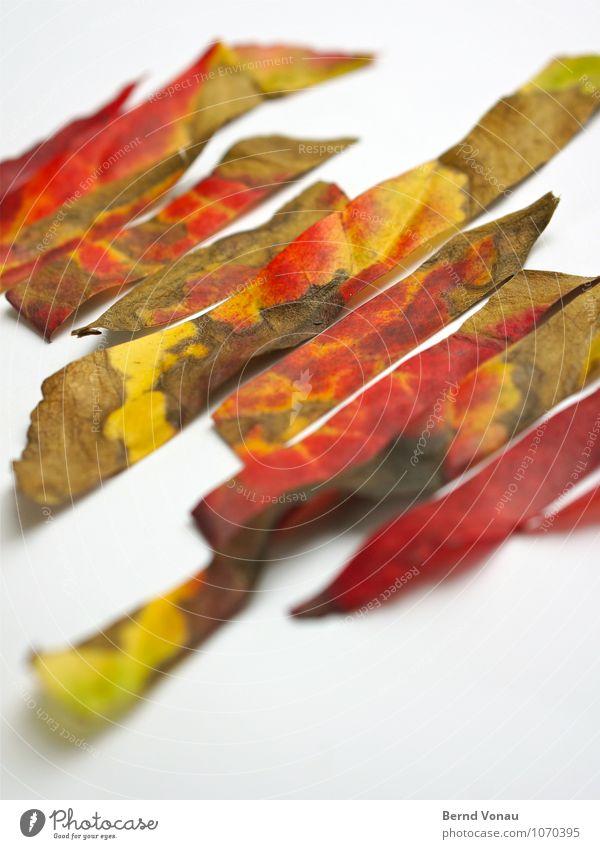 Rest in Pieces II Natur Herbst Blatt Streifen fallen dehydrieren Spitze trocken grün rot weiß Tod Herbstlaub geschnitten Zacken schneiden Farbfoto mehrfarbig