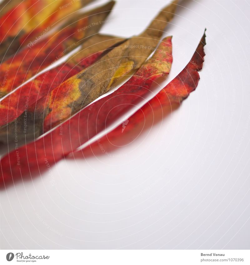 Rest In Pieces Natur grün weiß rot Blatt Herbst Tod Spitze Streifen fallen trocken Herbstlaub geschnitten Zacken dehydrieren
