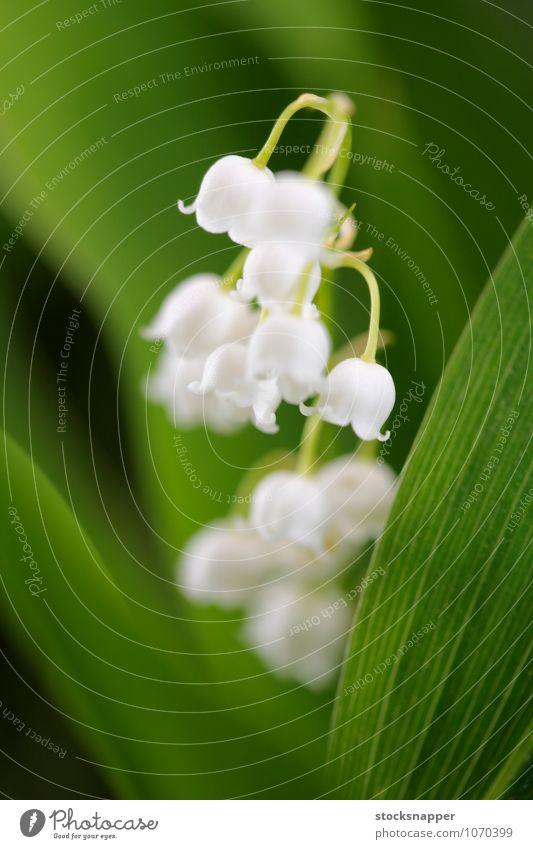 Maiglöckchen des Tals Blume Blühend Nahaufnahme Detailaufnahme Natur natürlich weiß Pflanze Menschenleer