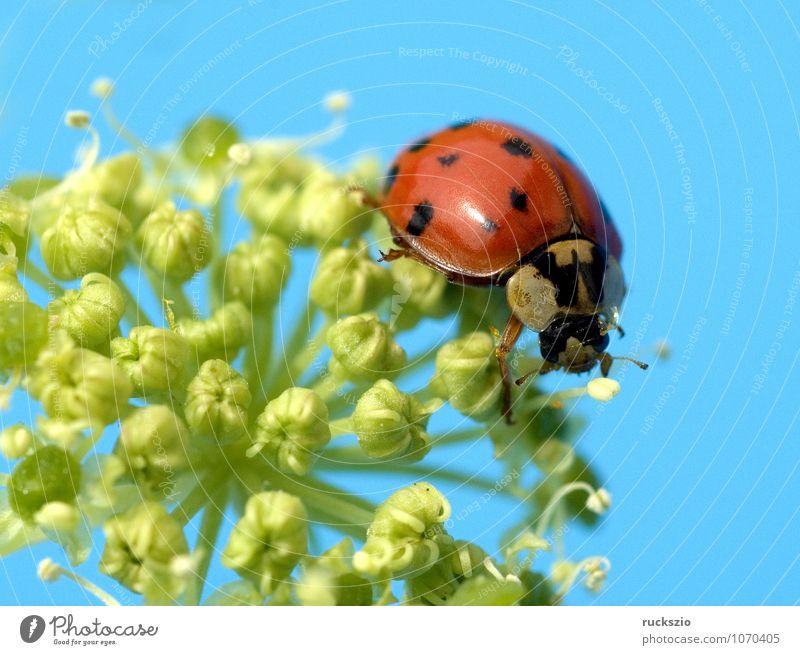 Asiatischer Marienkaefer, Pflanze weiß rot Tier schwarz gelb Wildtier frei Insekt Japan Käfer Marienkäfer Schlag Objektfotografie neutral Glücksbringer
