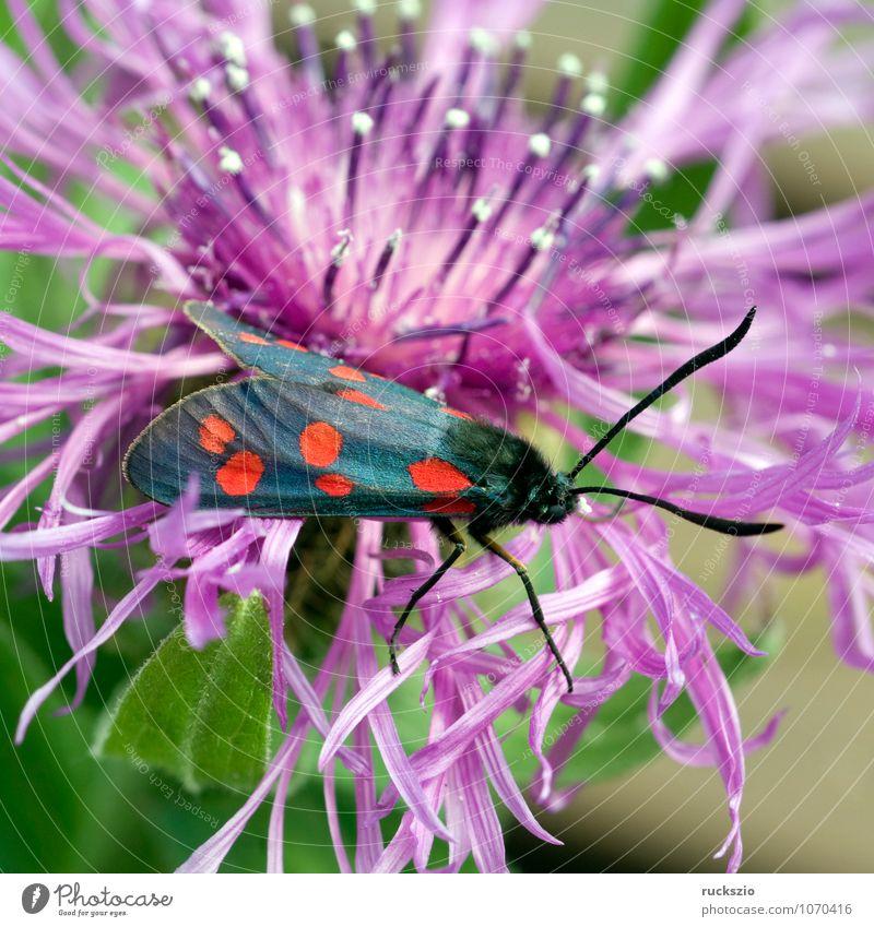 Blutstroepfchen, Widderchen, Zygaena, ephialtes, Natur Tier Sommer Wildtier Schmetterling Fressen Blutströpfchen Sechsfleck-Widderchen Motte Rotwidderchen