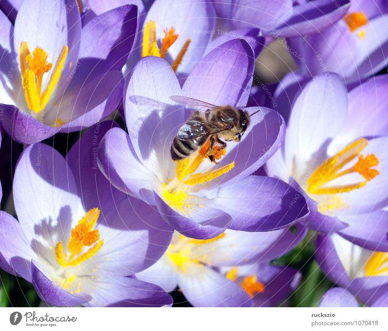 Krokus, Biene; Pollenhoeschen; Apis; mellifera; Natur Pflanze Tier Frühling Blume Wildpflanze Haustier springen Krokusse Honigbiene Insekt Bestaeubung