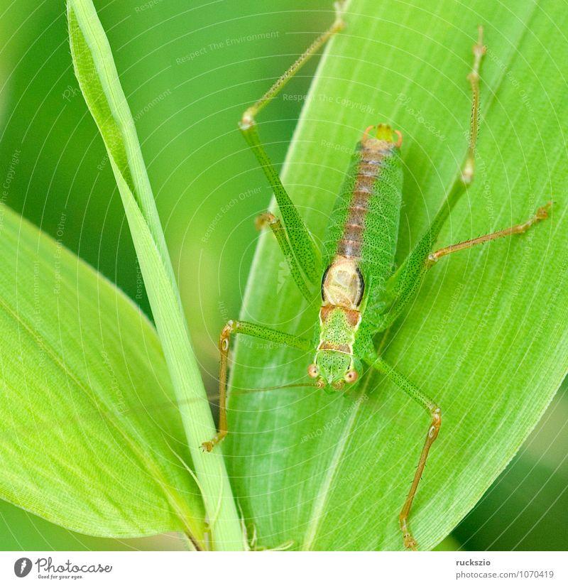 Kurzschwaenzige Plumpschrecke, Mimikry grün Tier Wildtier Flügel Insekt Tarnung Heuschrecke unsichtbar Gliederfüßer ähnlich Langfühlerschrecke Schutzfunktion