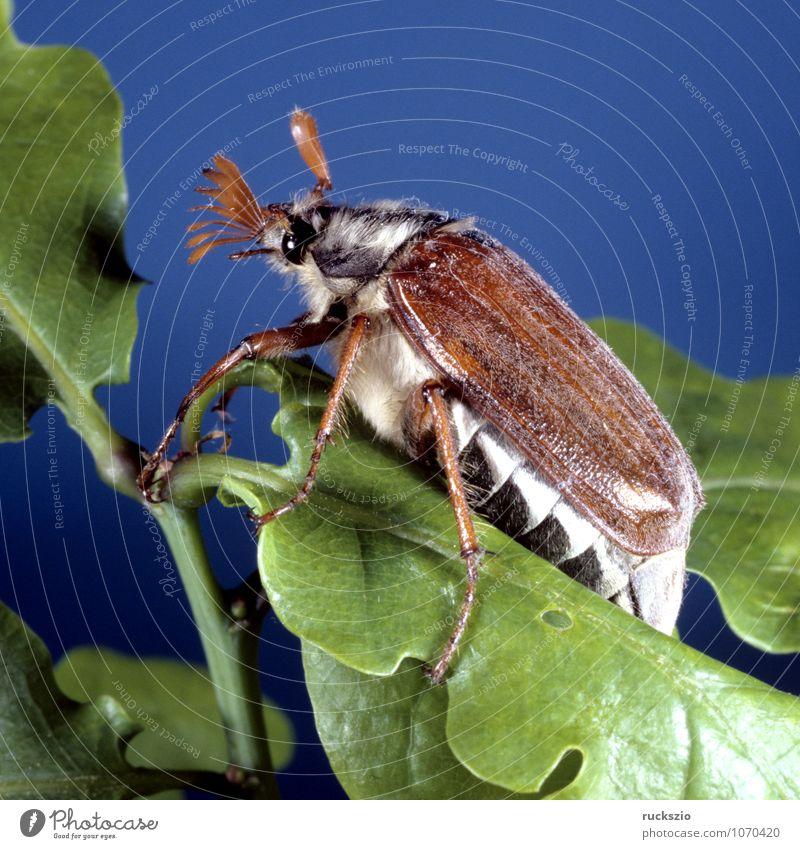 Maikaefer maskulin Tier Frühling Wald Wildtier Käfer frei blau braun mehrfarbig Maikäfer Melolontha Maennlich Feldmaikaefer Schaedling Insekt neutral Stillleben