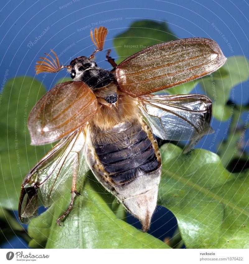 Maikaefer maskulin Tier Käfer frei schwarz weiß Maikäfer Melolontha Maennlich Feldmaikaefer Schaedling Insekt neutral freilassen Objektfotografie freizustellend