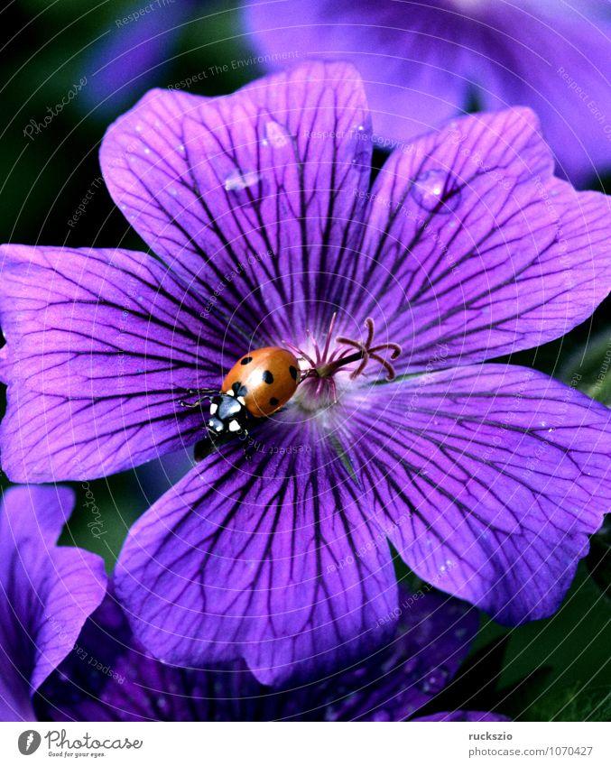 Marienkaefer, Coccinella, semptempunctata, Natur Pflanze weiß Sommer rot Tier schwarz Blüte frei Insekt Käfer Marienkäfer Objektfotografie Glücksbringer